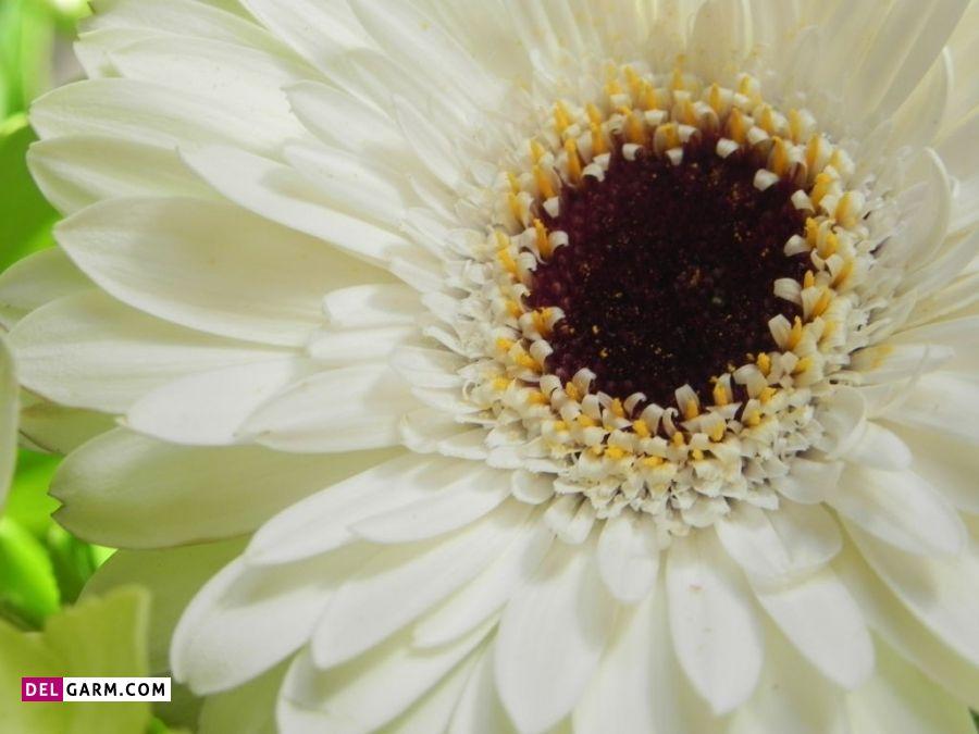 نماد گل ژربرای سفید