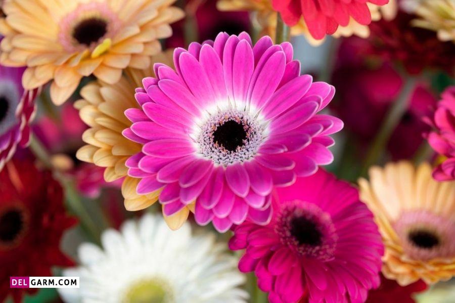 نماد گل ژربرا
