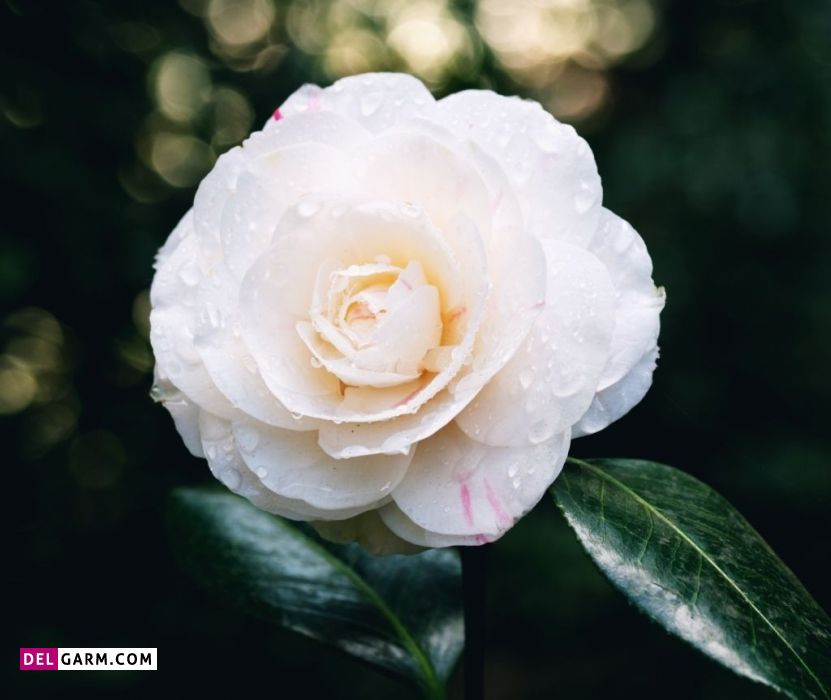 گل کاملیا نشانه چیست