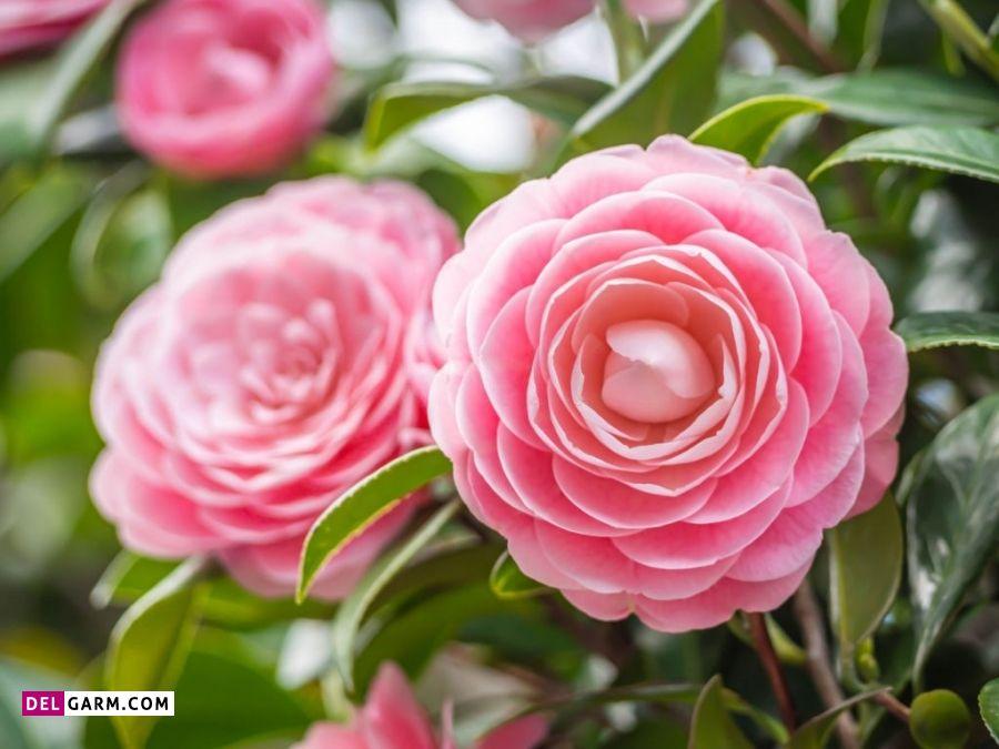 گل ماملیا نماد چیست
