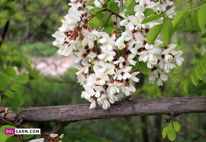 گل اقاقیا نشانه چیست