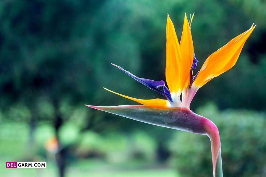 نماد گل پرنده بهشتی