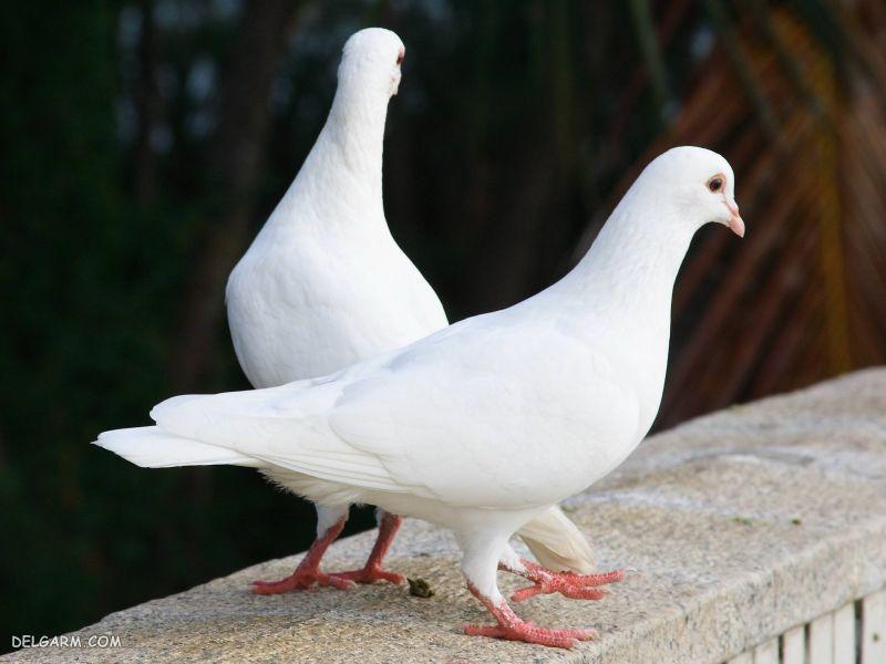 خواص گوشت کبوتر برای بدن