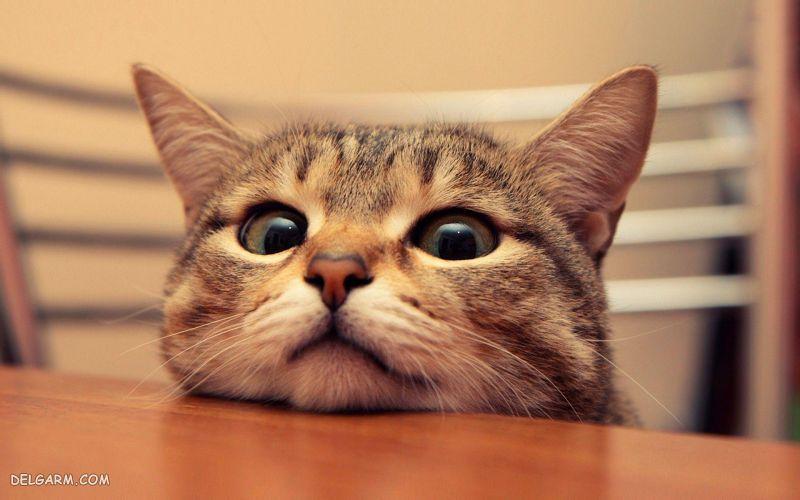 گربه قهر کرده