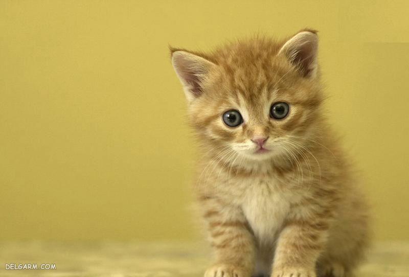 قهر گربه