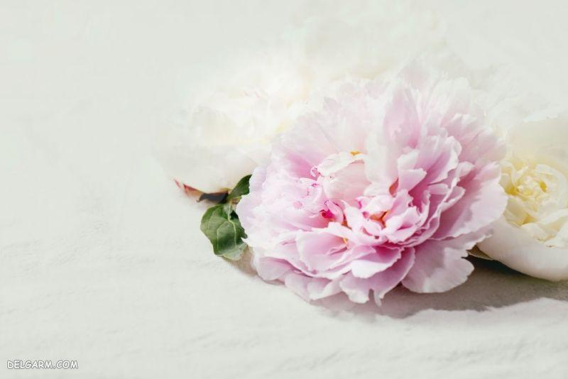عکس شکوفه گل