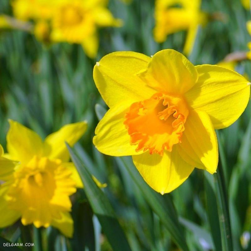 گل نرگس نماد چیست