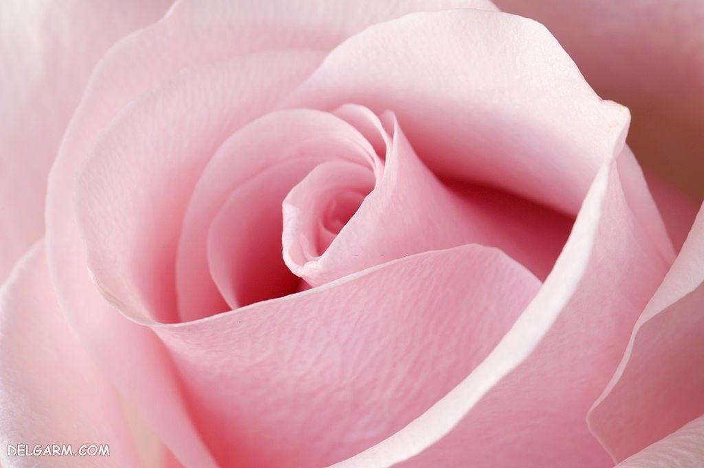 عکس گل رز باز نشده