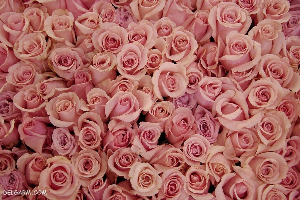 بک گراند گل رز