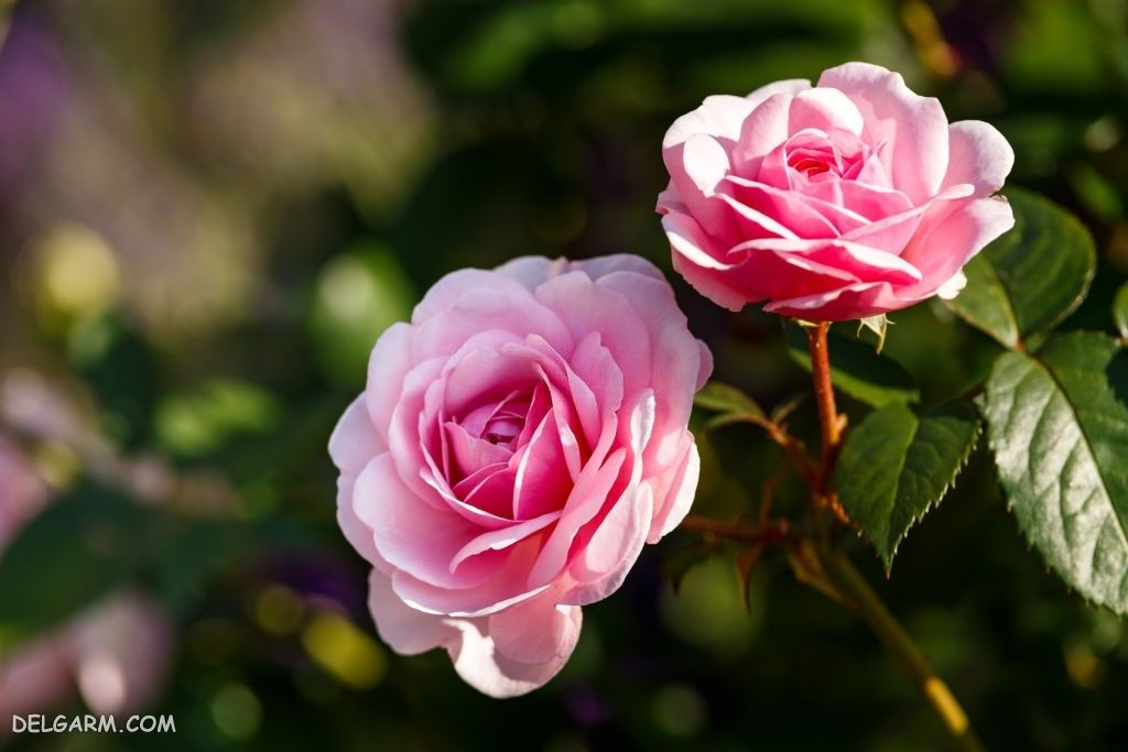 عکس گل رز روی بوته