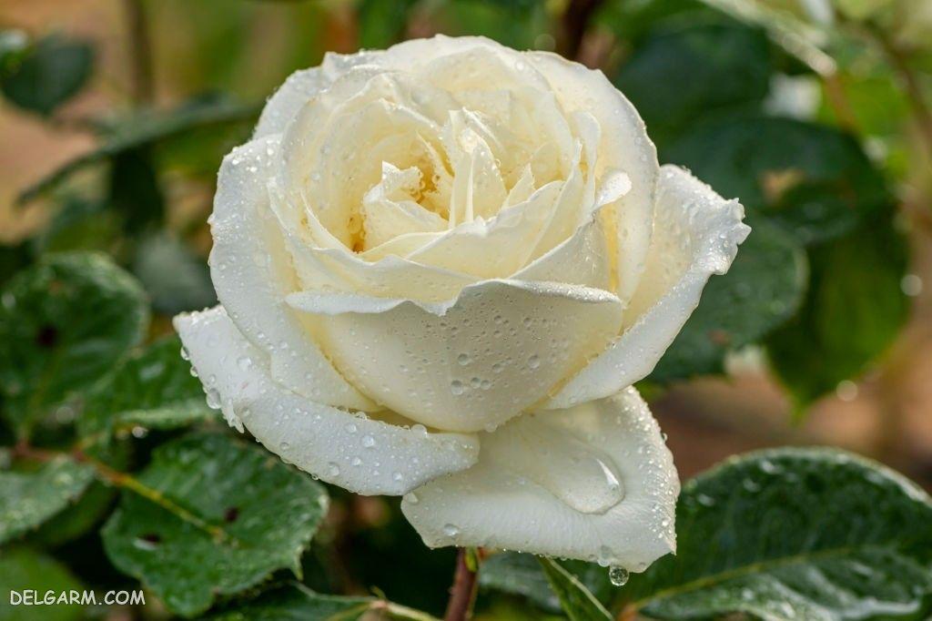 عکس گل رز وحشی