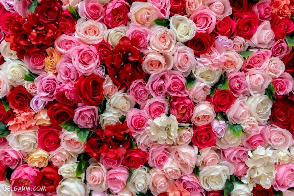 عکس گل رز رنگی