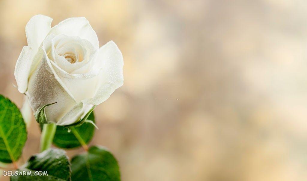 عکس شاخه گل رز