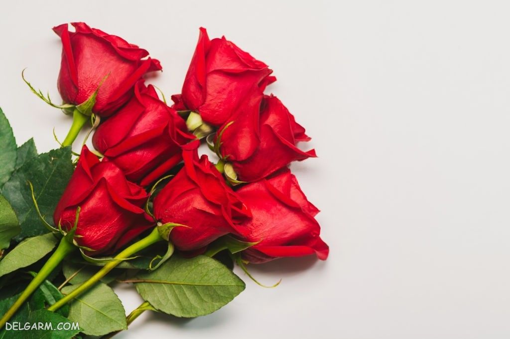 عکس های گل رز