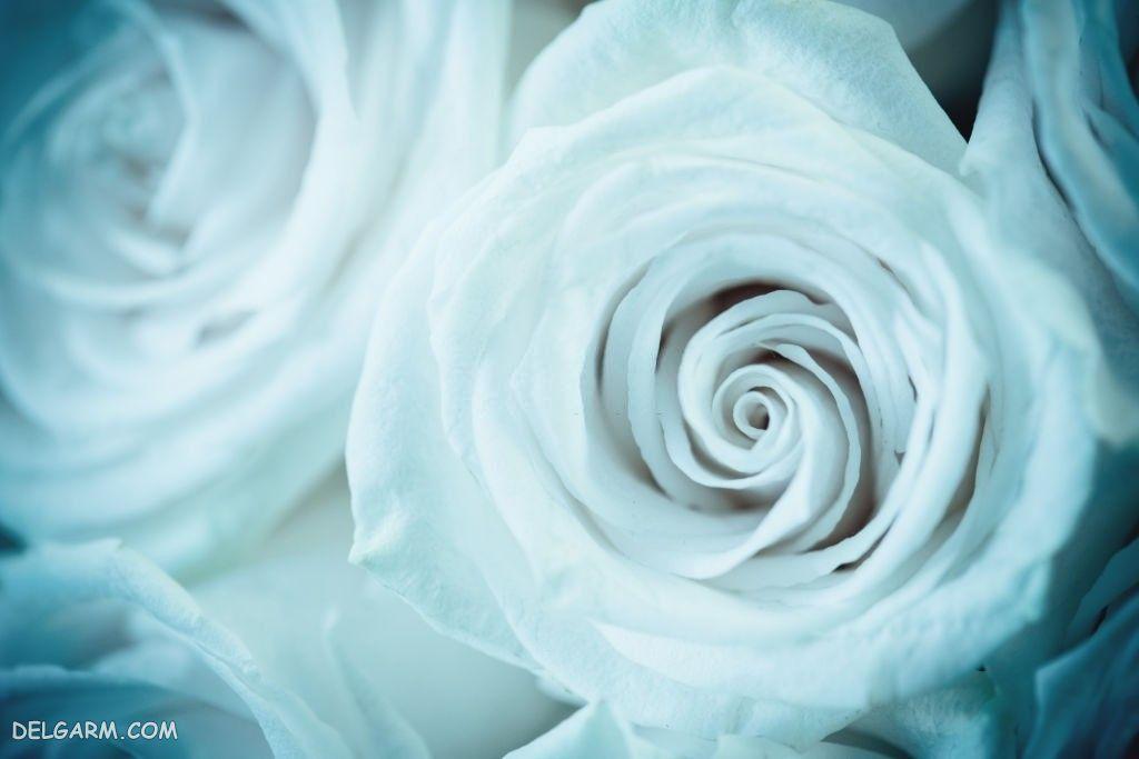 عکس گل رز فانتزی