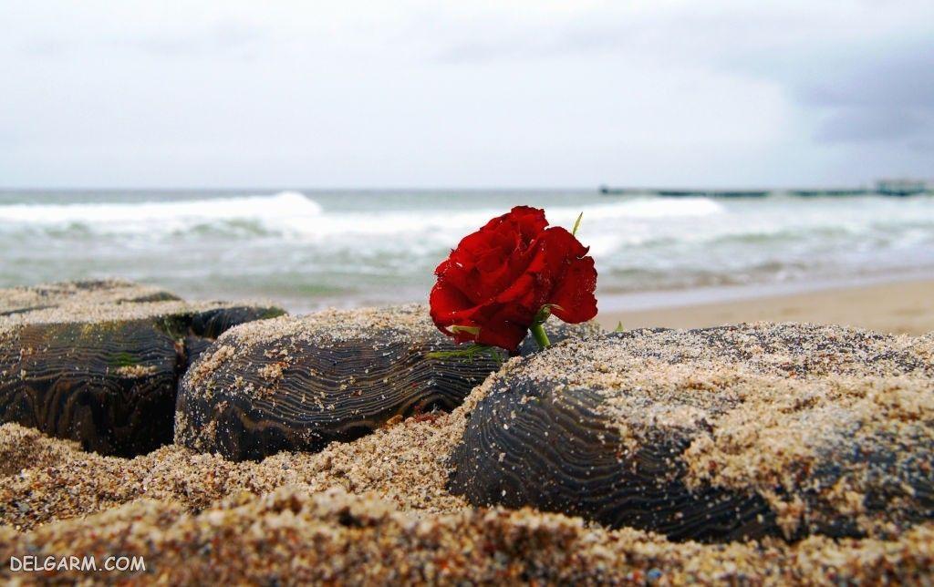 عکس پروفایل گل رز طبیعی