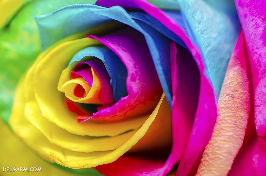 عکس دسته گل بزرگ رز