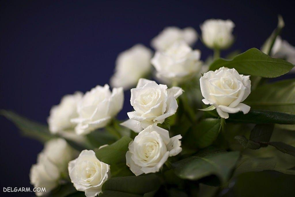 عکس دسته گل رز طبیعی