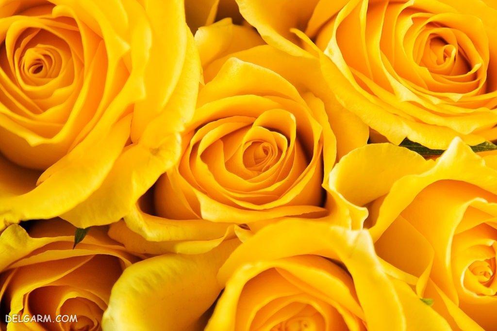عکس گل رز برای پروفایل