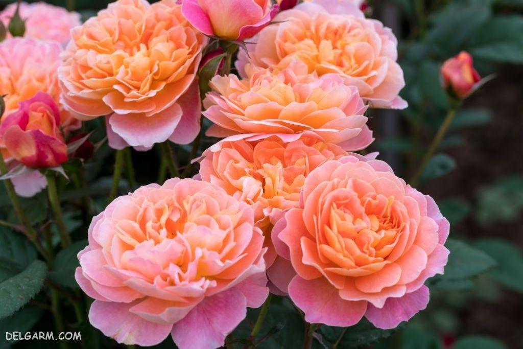 عکس گل رز روی شاخه