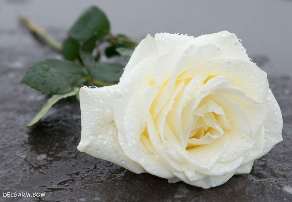 عکس رز سفید