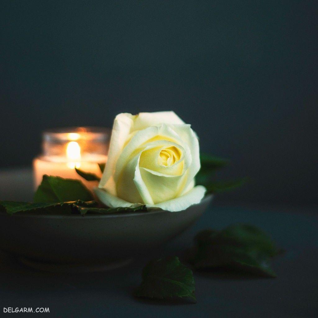 عکس گل رز برای پس زمینه