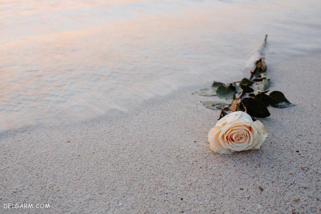عکس پس زمینه گل رز