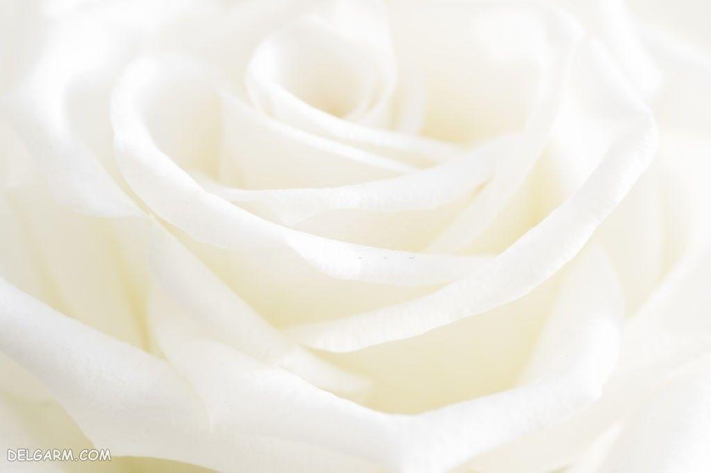 عکس گل رز برای والپیپر