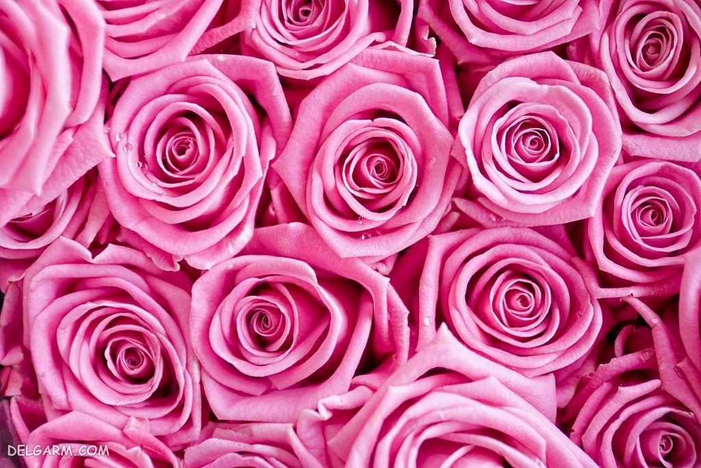 عکس گل های رز برای والپیپر
