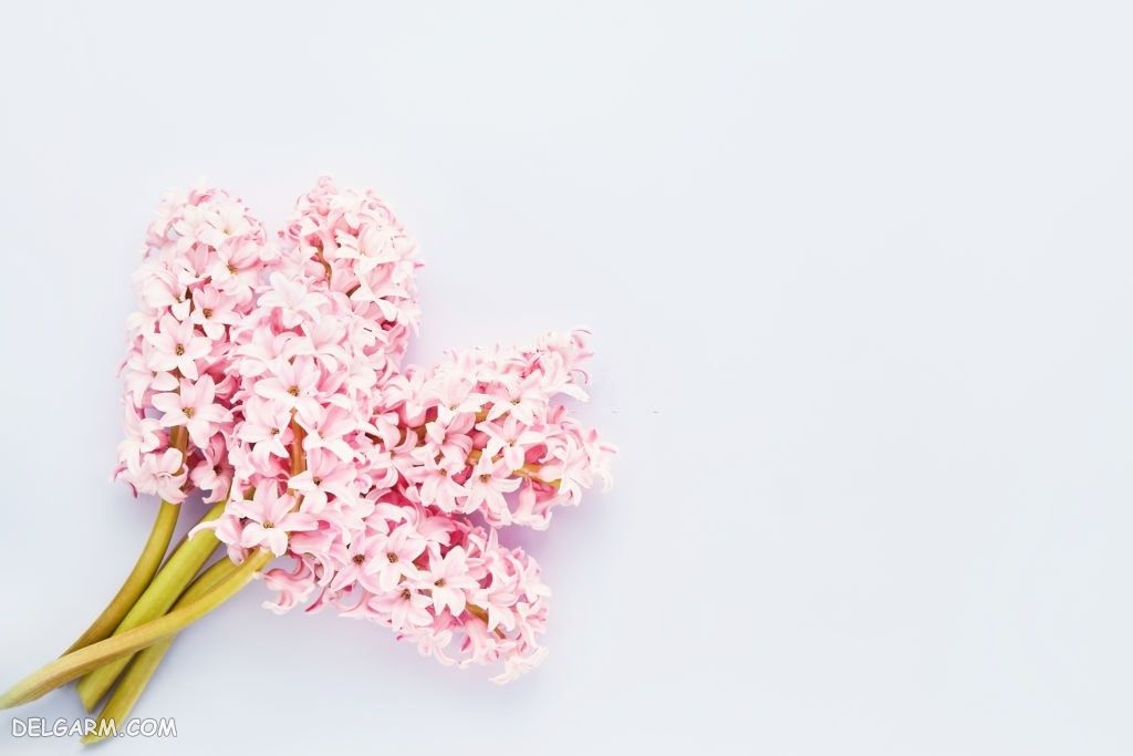 عکس گل سنبل برای پروفایل