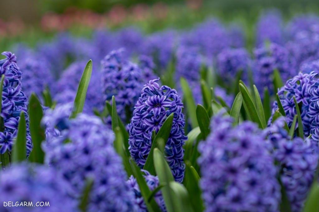 عکس گل سنبل عید