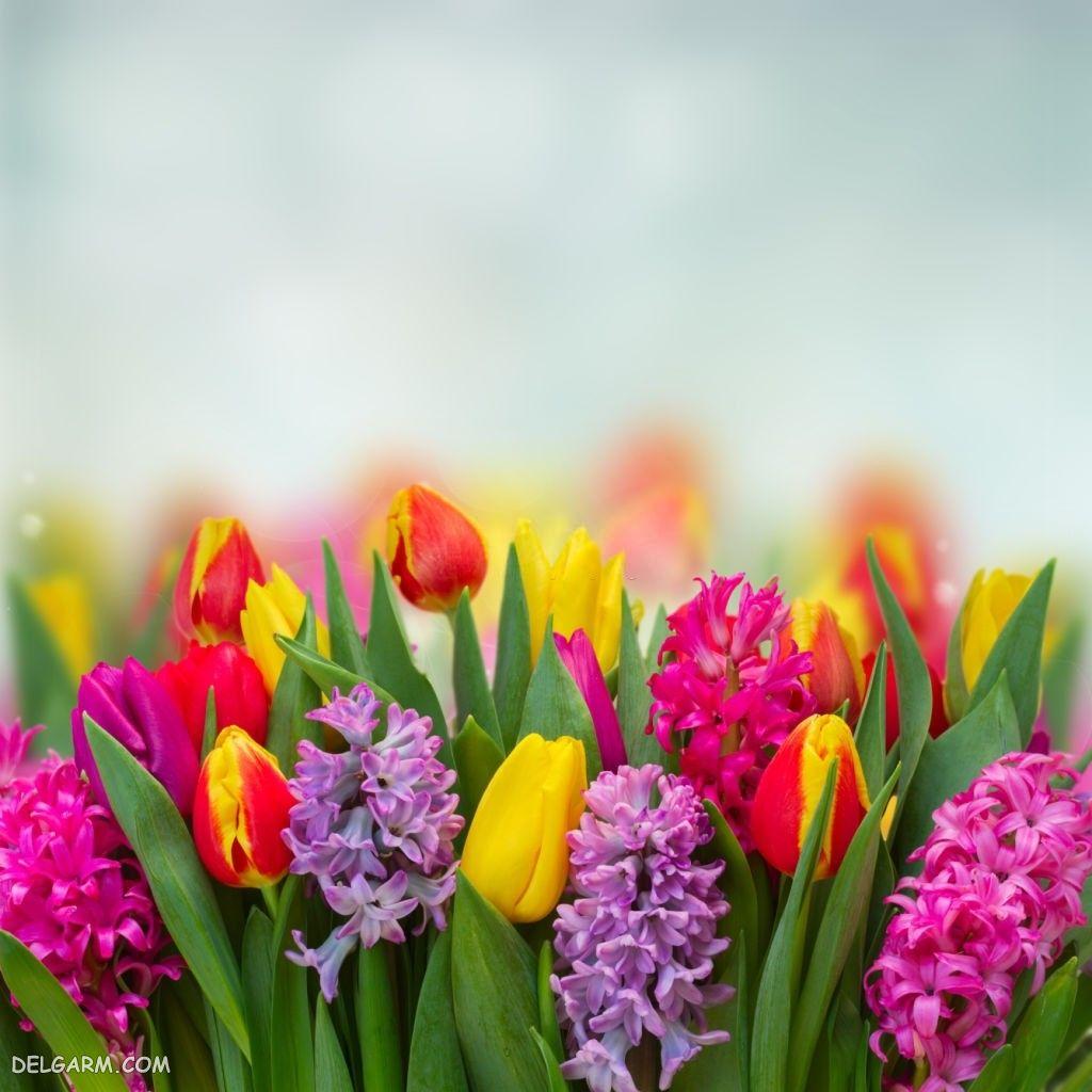 عکس های گل سنبل