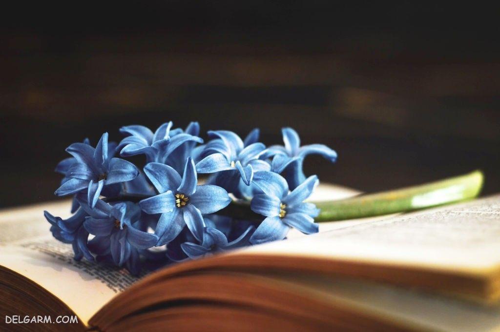 عکس گل سنبل