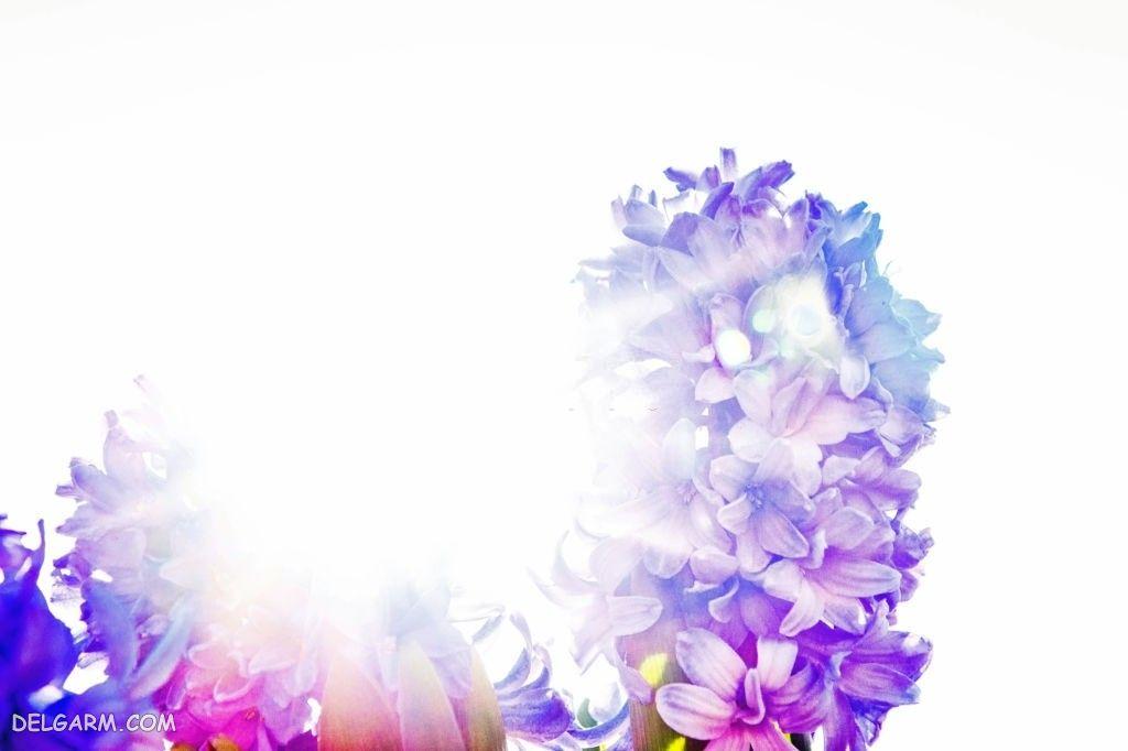عکس گل سنبل طبیعی