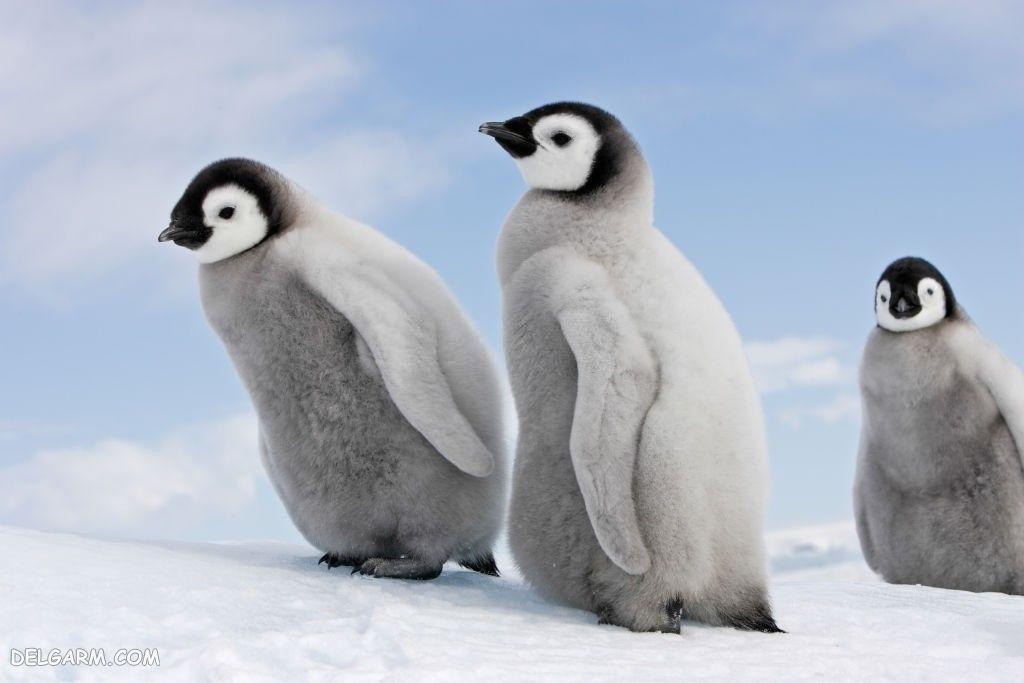 عکس پنگوئن