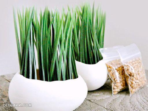 درست کردن سبزه با هسته خرما