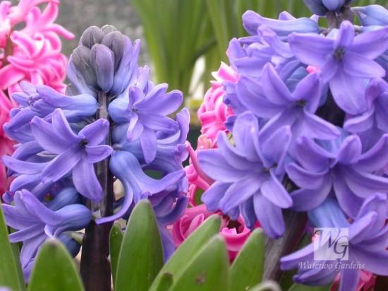 زیباترین گل دنیا+تصاویر