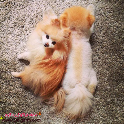 معروف ترین سگ دنیا(بو)+عکس