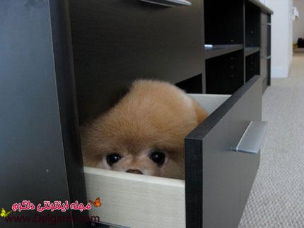 معروف ترین سگ دنیا(بو Boo)+تصاویر
