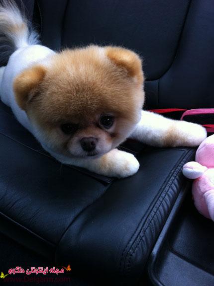 تصاویر سگ بو Boo