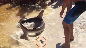 وضع حمل عجیب یک کوسه در ساحل +عکس