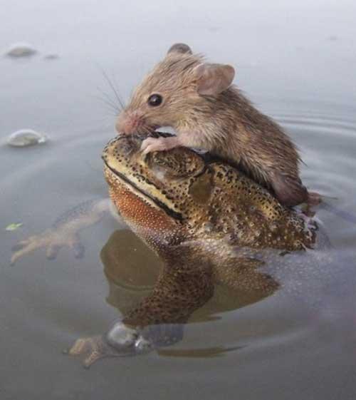 نجات جان موش توسط قورباغه + عکس