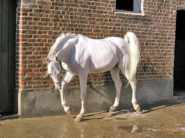 قیمت اسب طلایی