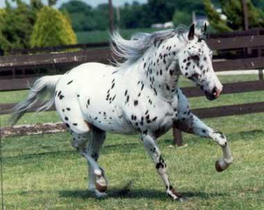 قیمت اسب آپالوسا