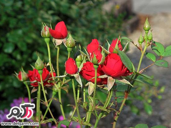 قلمه زدن گل رز و روش های قلمه زدن گل رز