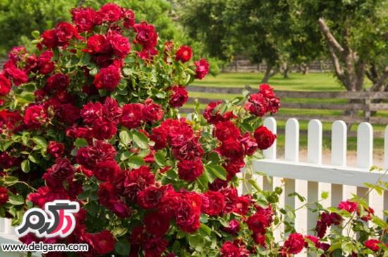 گل رز آشنایی با انواع گل رز و روشهای تکثیر و نگهداری