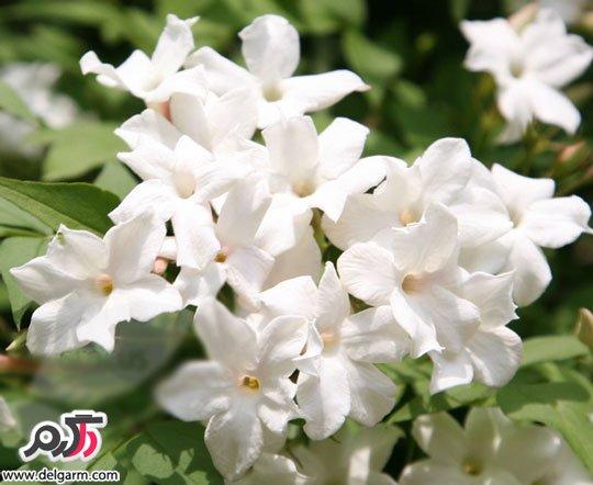 پرورش و نگهداری گل یاس سفید