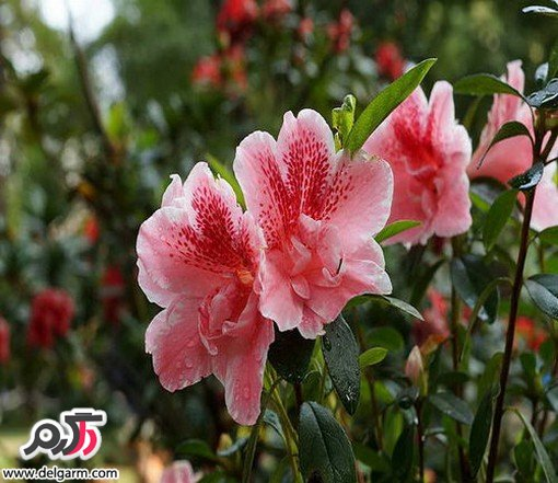 پرورش و نگهداری گل آزالیا