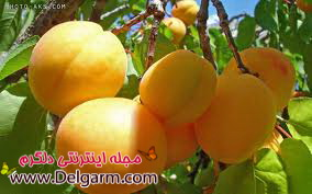 خواص میوه زردآالو