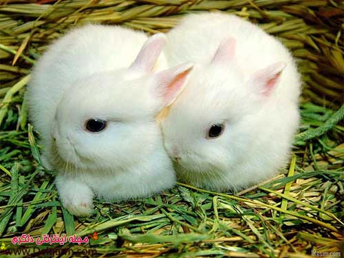 تعدادی از عکس خرگوش های بامزه و دوست داشتنی را برای